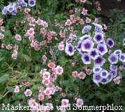 Maskenblume und Sommerphlox